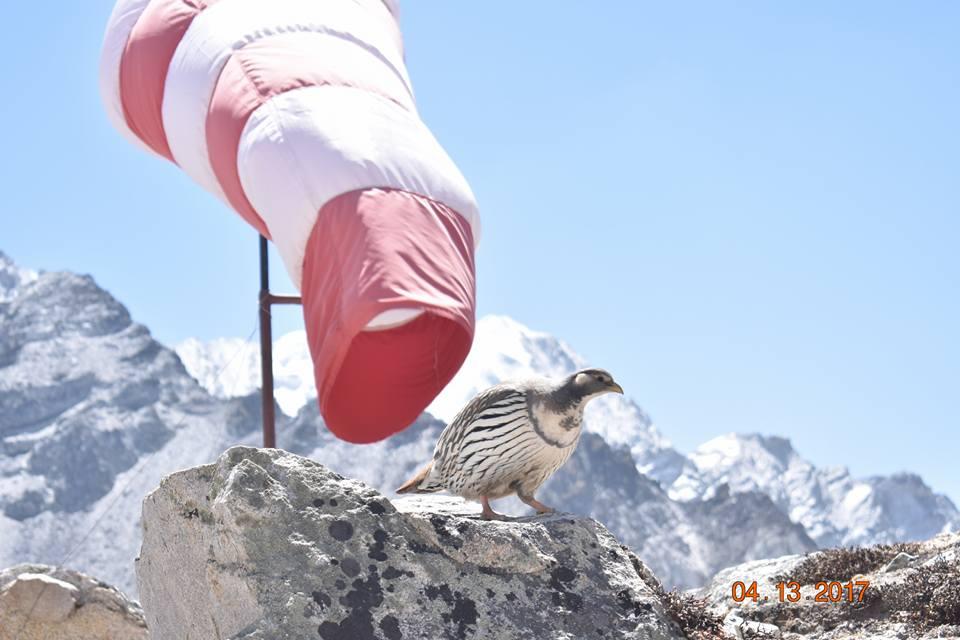 Himalaya ptica